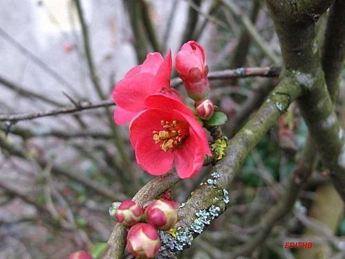 PRUNUS BOURGEONS.jpeg