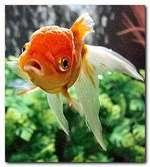 poisson_rouge_deux.JPG