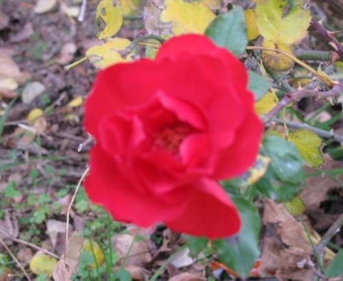 et la rose......jpg