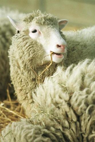 © AFP (Dolly, la célèbre brebis qui fut le premier mammifère cloné de l'histoire).jpeg