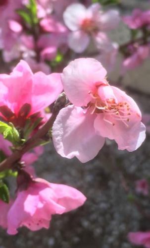 Fleur Nectarine.jpg