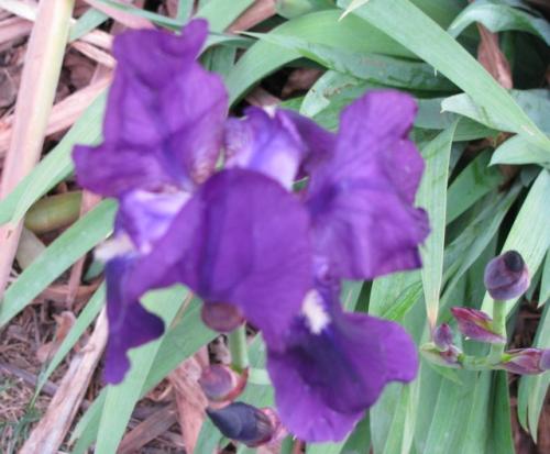 L'Iris.jpg