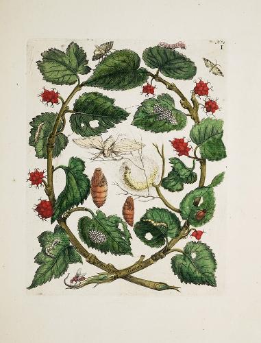 Maria Sibylla Merian Raupen wunderbare Verwandelung und sonderbare Blumennahrung.jpeg