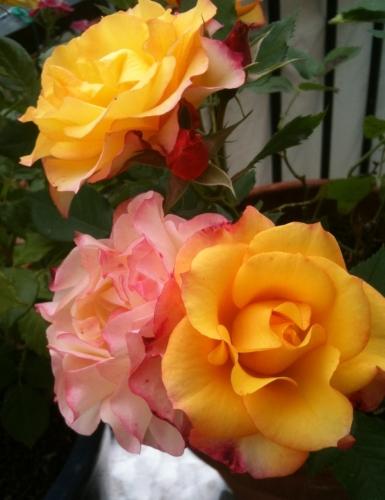 Roses mai 2012.jpg