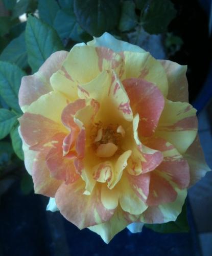 rose d'automne.jpg