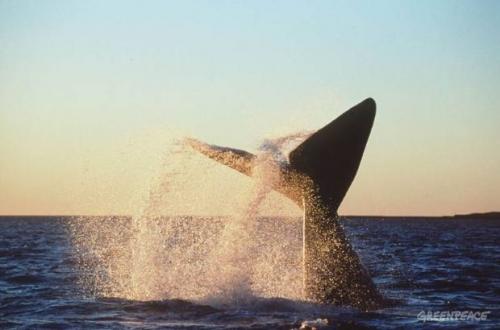 Queue d'une baleine franche australe qui replonge vers les profondeurs.jpeg