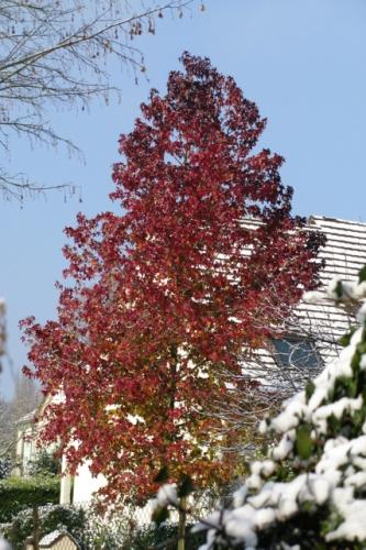 arbre rouge .jpg