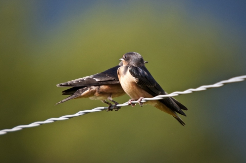 swallows-626216_960_720.jpg